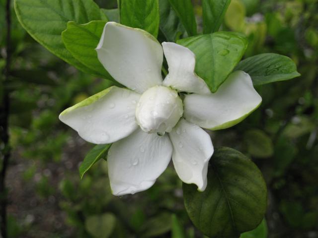 Gardenia 5 24 2009