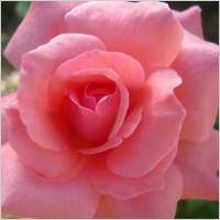 Roses 193281
