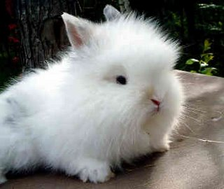 Lionhead rabbit 0037 1