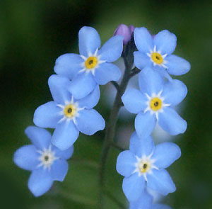 Forget me not 08