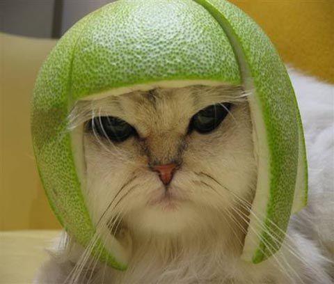 Cat in lime helmet