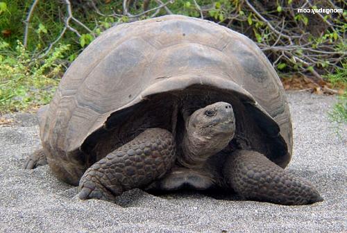 Galapagos tortoise 3r