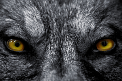 Purposeinc wolf