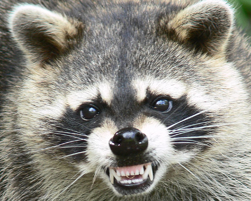 Raccoon1