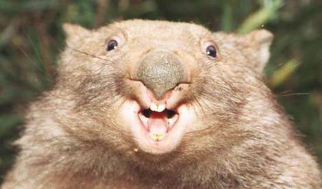 Wombat wideweb  470x276 0
