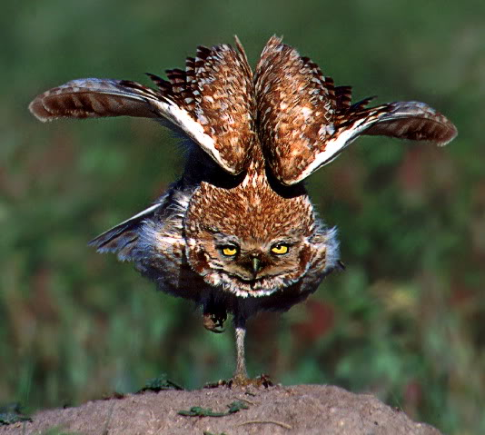 Burrowing owl attack