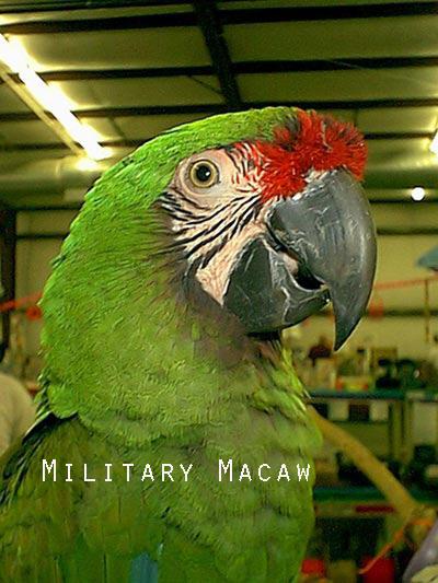 Macaw1