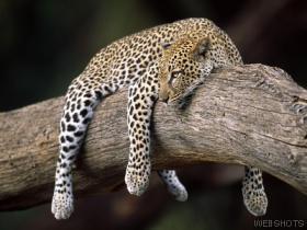 Resting leopard  kenya  africa