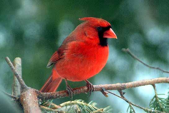 Cardinal1w