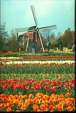 Windmill w tulips haarlem netherlands 383092