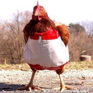 Funny hen chicken funnypica.com