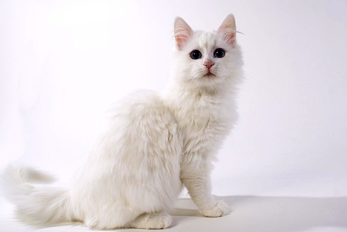 White turkish angora kitty 2