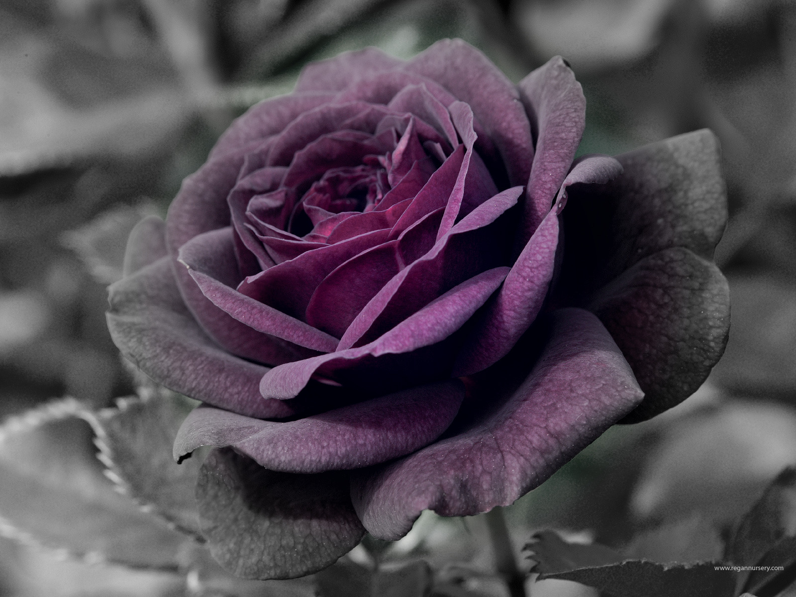 Purple rose edit
