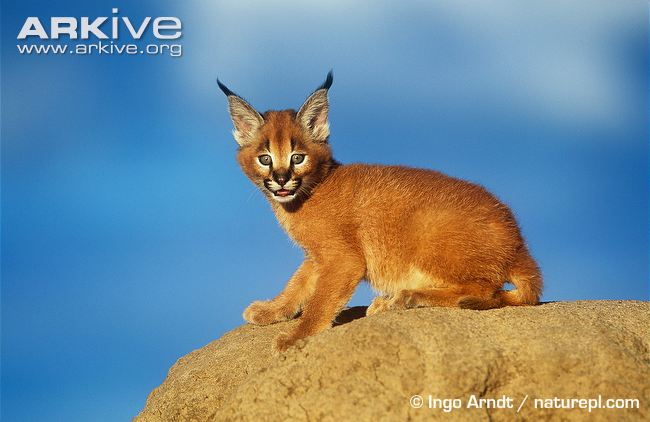 Caracal smiles