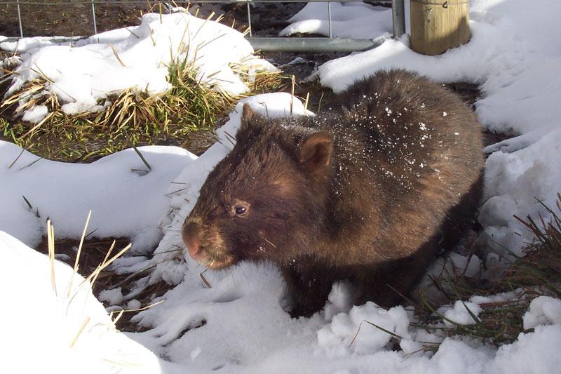 Vombatus ursinus  wombat in snow