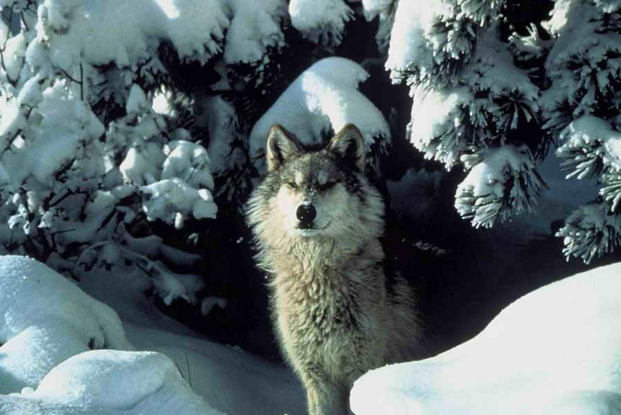 Gray 20wolf 20  20brooks  20tracy 20  20mission 20wolf 20 usfws