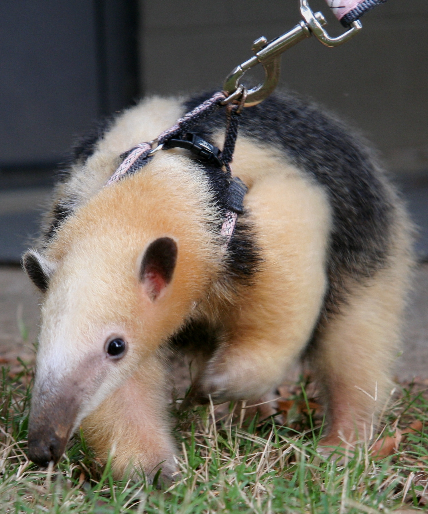 Tamandua walkies