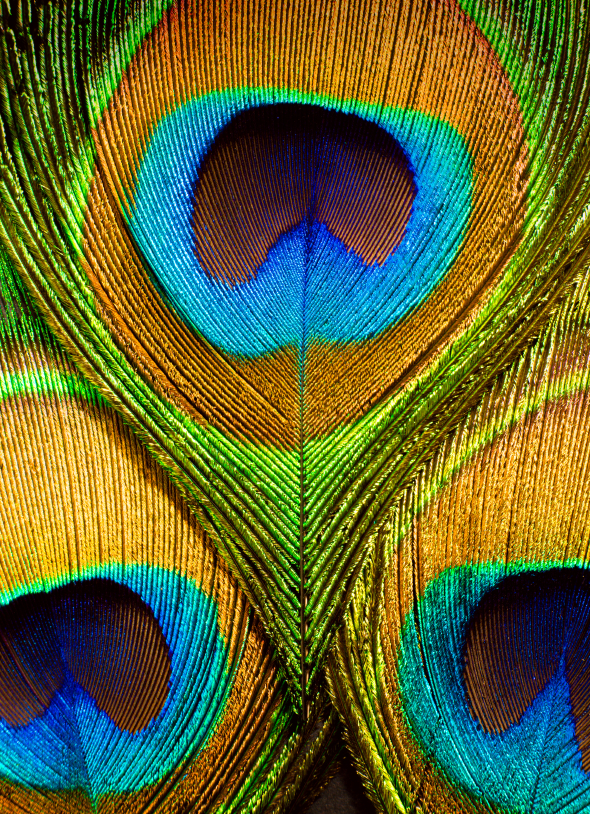 Peacock feather details