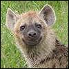 Hyena nature