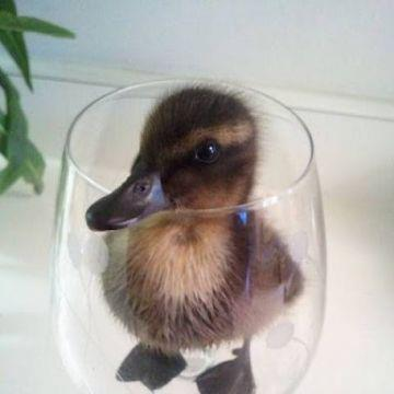 Duckling glass