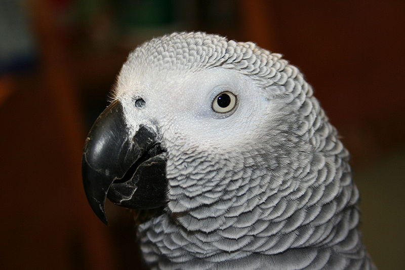 800px congo african grey parrot  side of head2