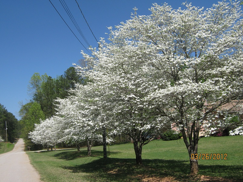 Dogwoods lining our street