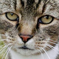 Buster keaton cat  wa  cropped 1x1  01e   f 4981742638