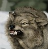 Large wolf snarl