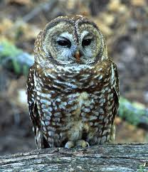 Spotted owl 3