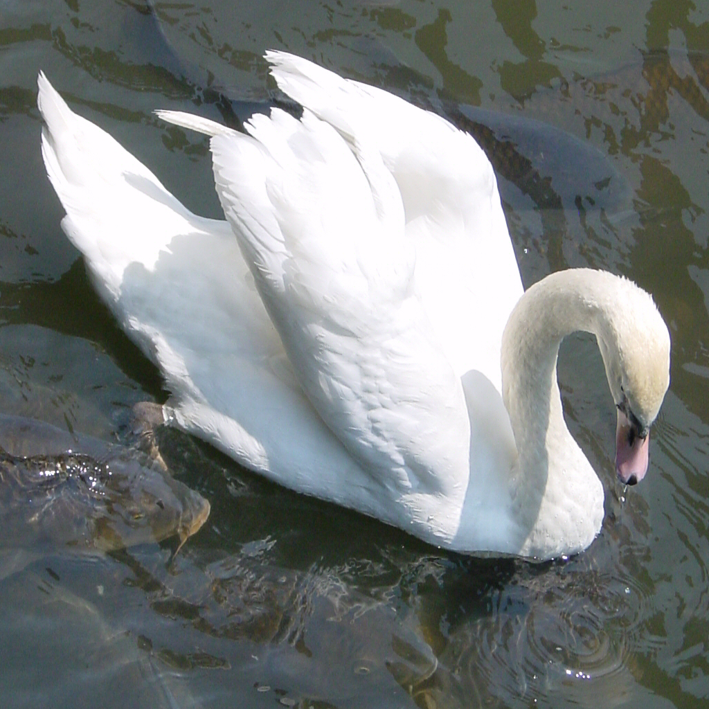 Swan 1966 avatar 1024x1024