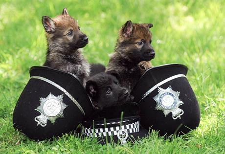 German shepherd puppies 954474809
