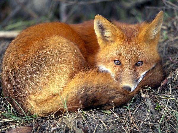 Red fox 679 600x450