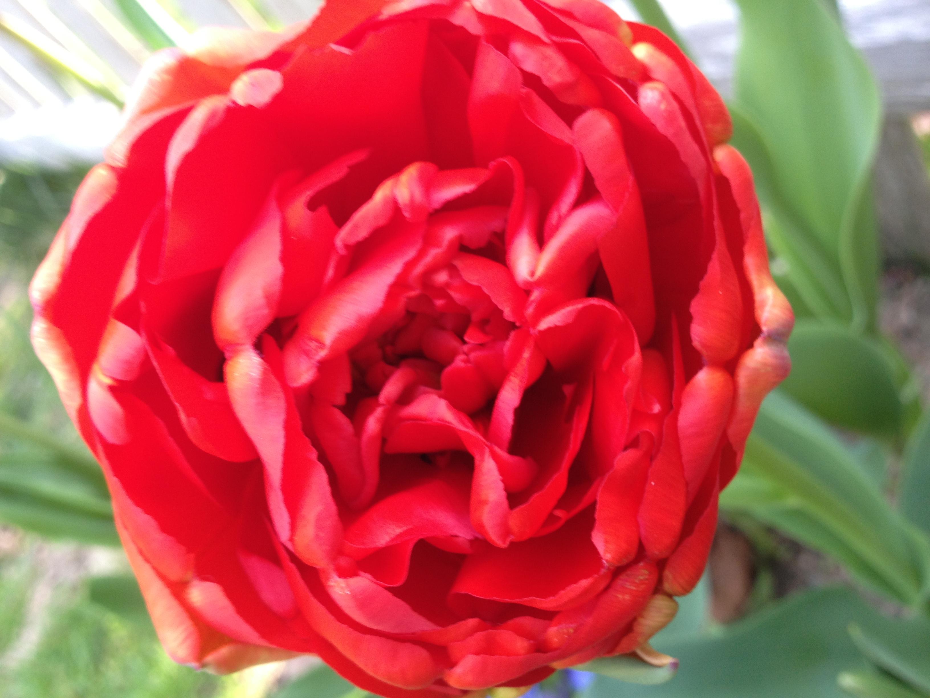 Red complex tulip