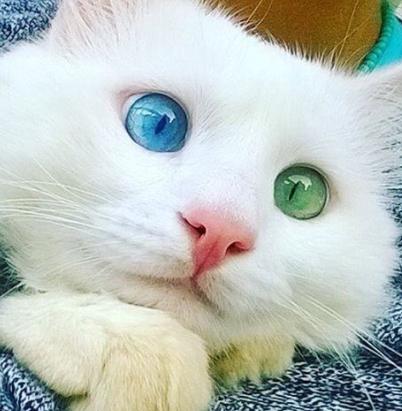 Dichromatic cat avatar  400px