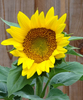 Large sunflower crop1x1 1600ppi