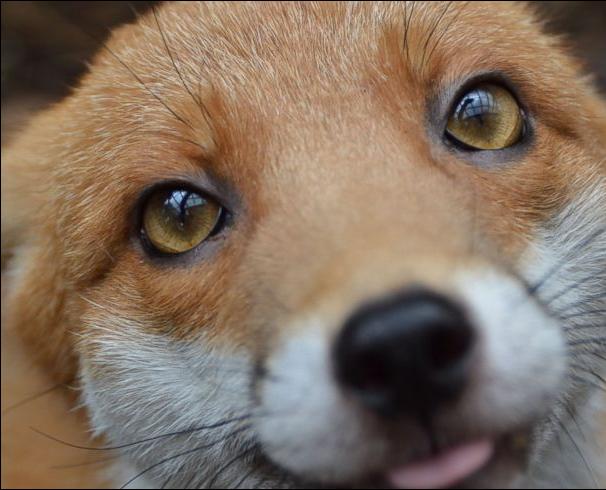 A foxy friend