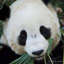 Tai shan eating 128x128