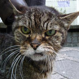 Annoyed cat avatar