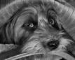Schnoodle