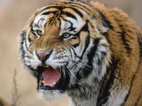Snarling siberian tiger  russia