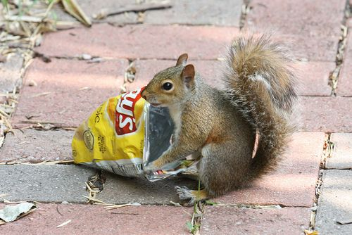 Squirrel eating chips