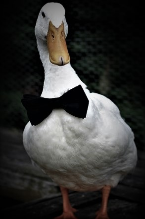 Duck with bow tie