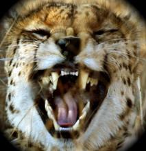 Cheetah crop 2