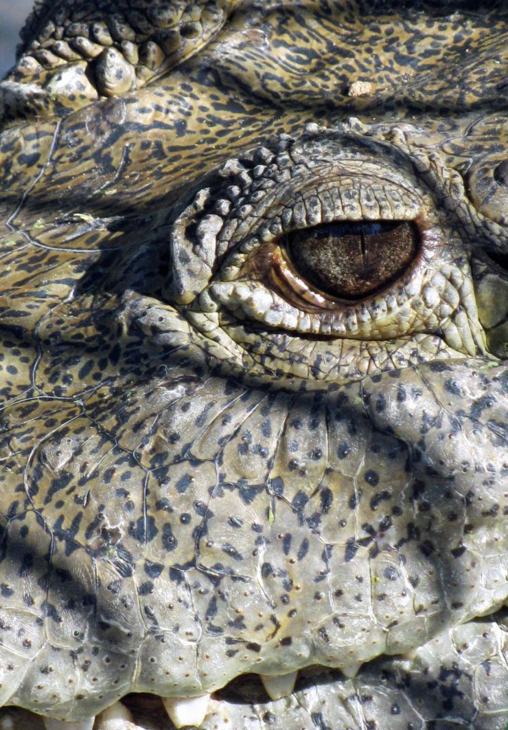Gator eye   resized