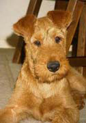 Irish terrier1