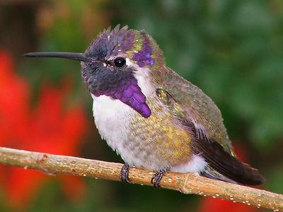 Purple hummer