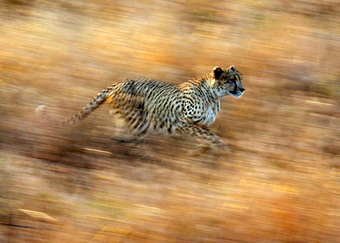 Cheetah a