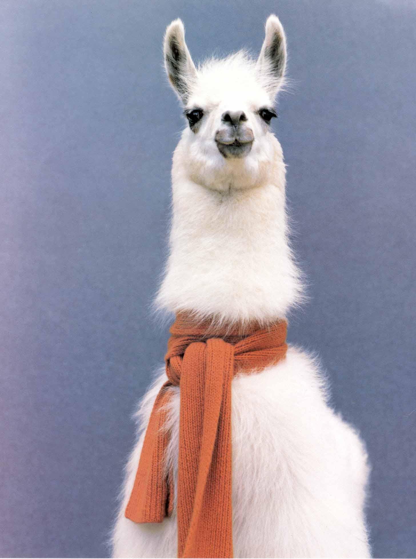 Llama wearing scarf