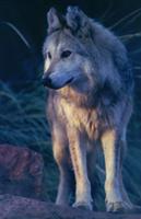 Mexicanwolf robinsilver 200y