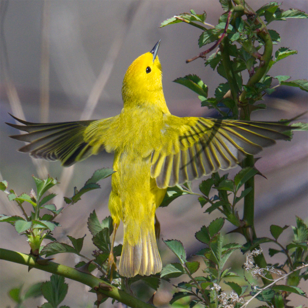 Profilepic yellowwarbler